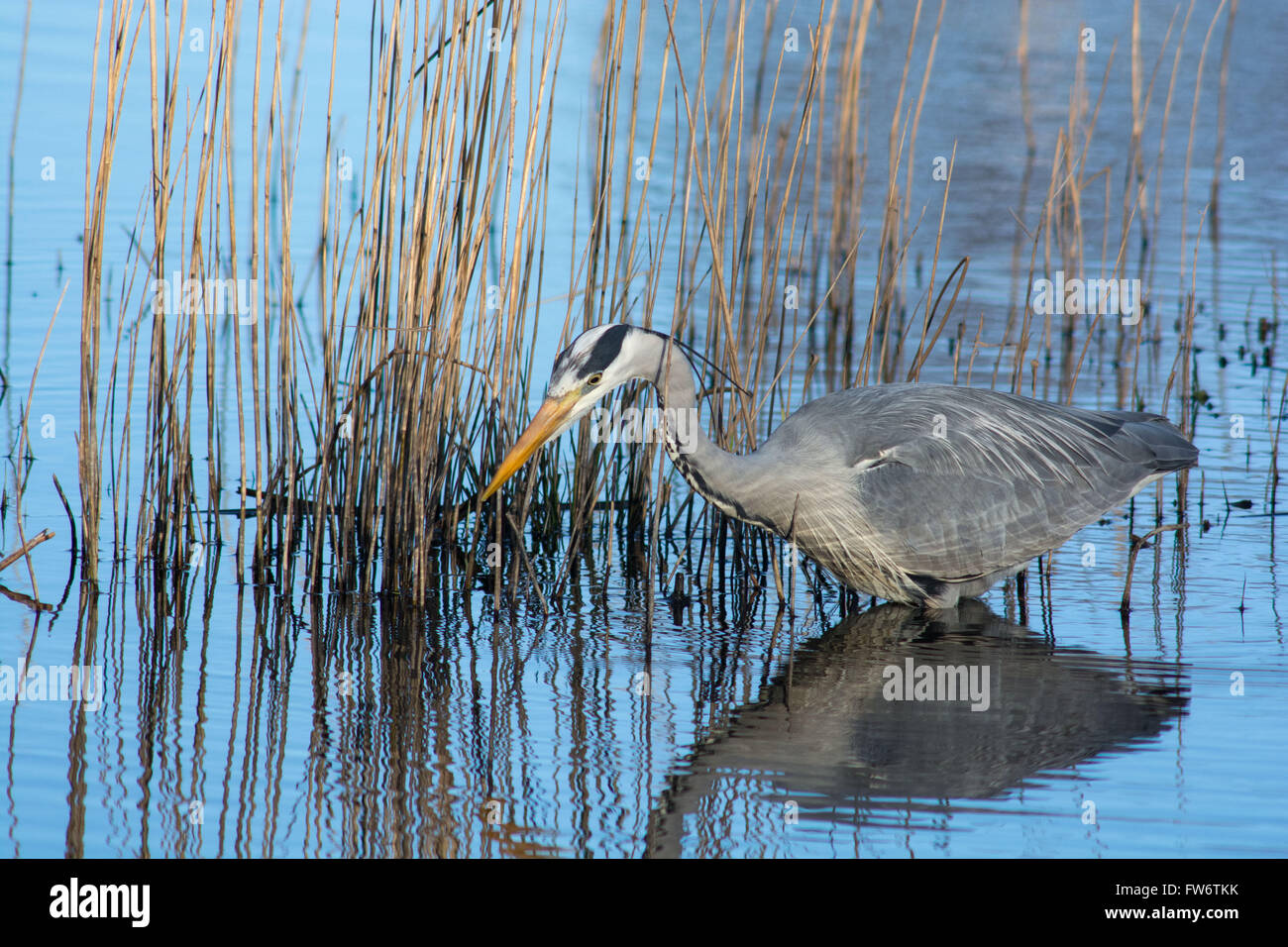 Grey Heron fishing at the Welsh Wildlife Centre, Cilgerran, West Wales Stock Photo