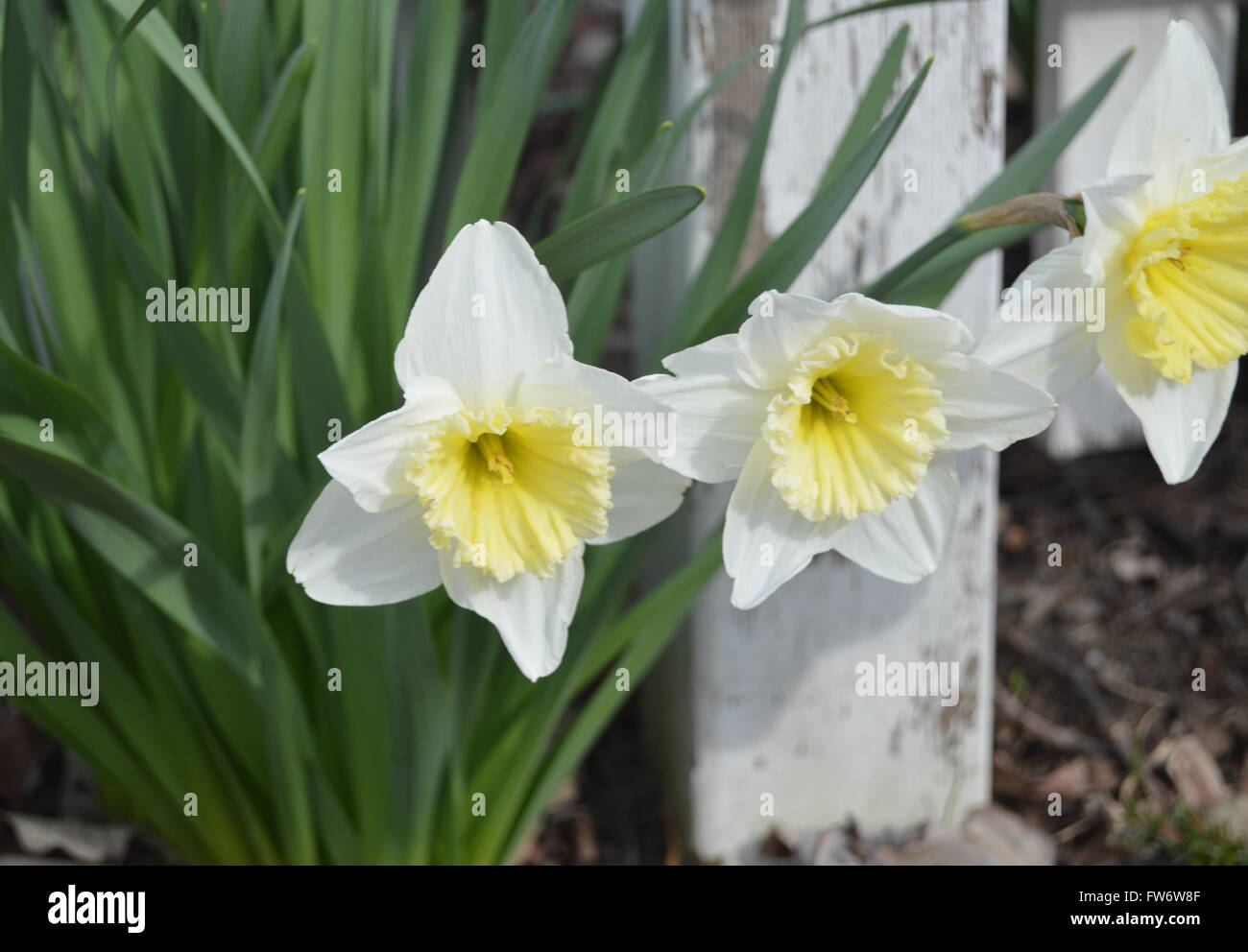 A picture of three fully bloomed white daffodils with a single white fence post in the background. - Stock Image