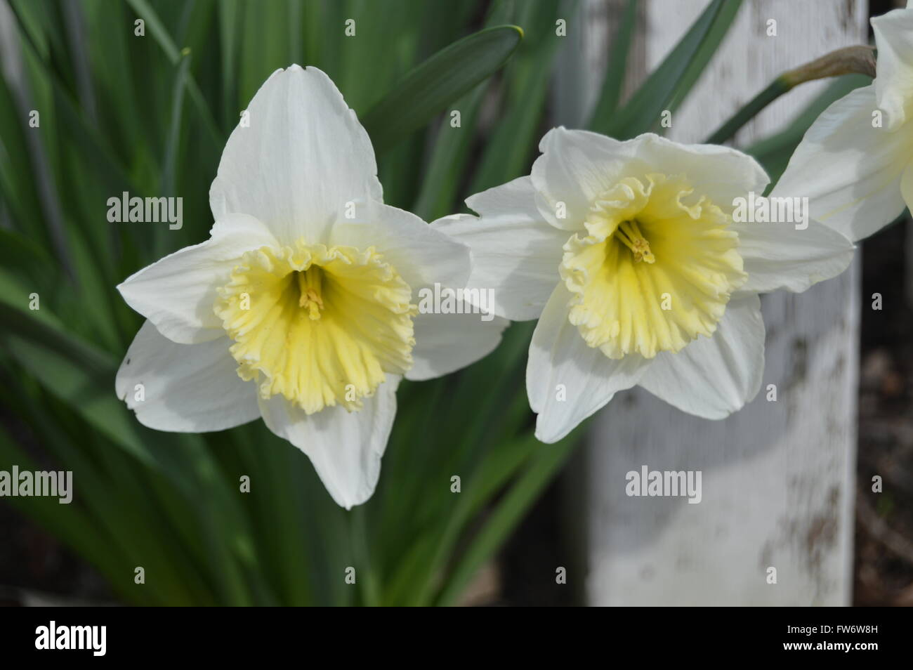 A picture of two white daffodils with a rustic white fence post in the background. - Stock Image