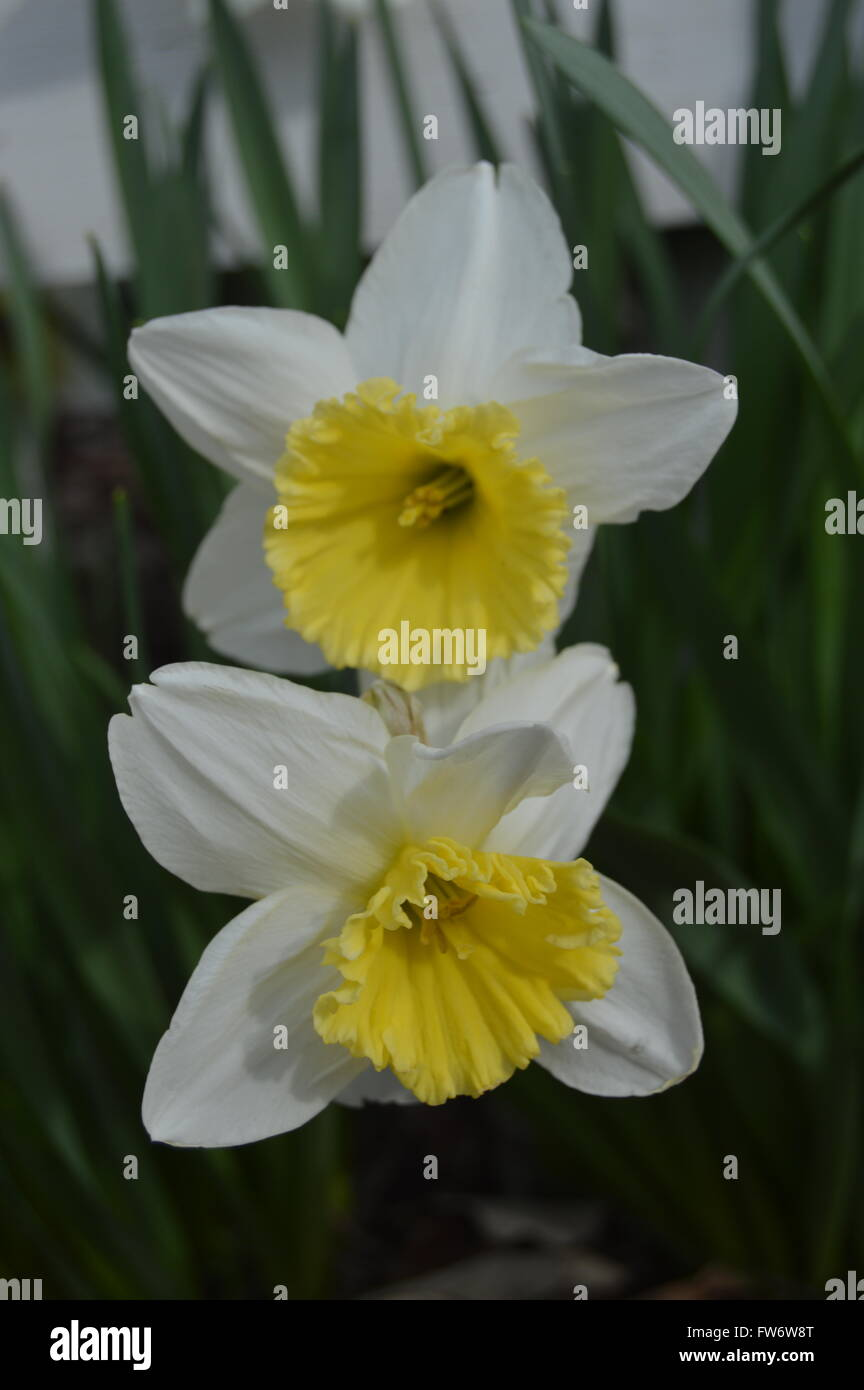 A macro shot of two fully bloomed white daffodils with a white fence post in the background. - Stock Image