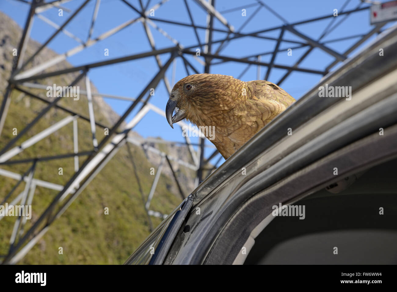 New Zealand alpine parrot, the Kea, Nestor notabilis, sitting on a car at Arthur's Pass, to the delight of tourists Stock Photo