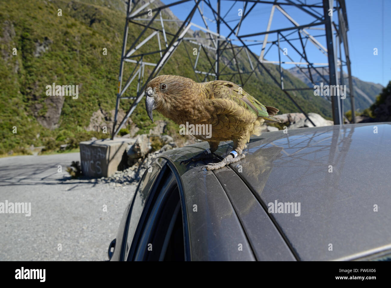 New Zealand alpine parrot, the Kea, Nestor notabilis,sitting on a car at Arthur's Pass National Park, to the delight Stock Photo