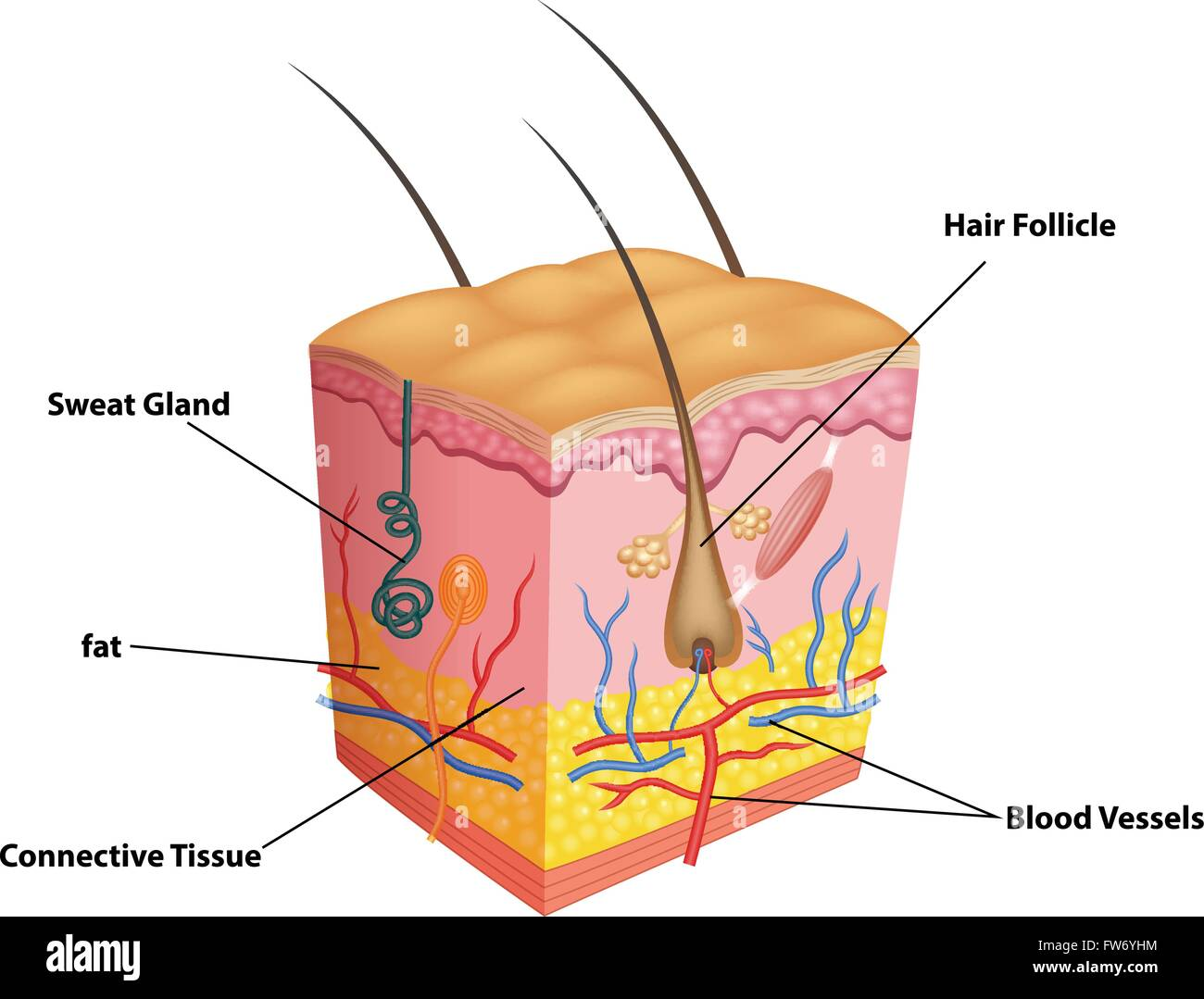 Illustration Of The Layer Of Skin And Pores Anatomy Stock Vector Art