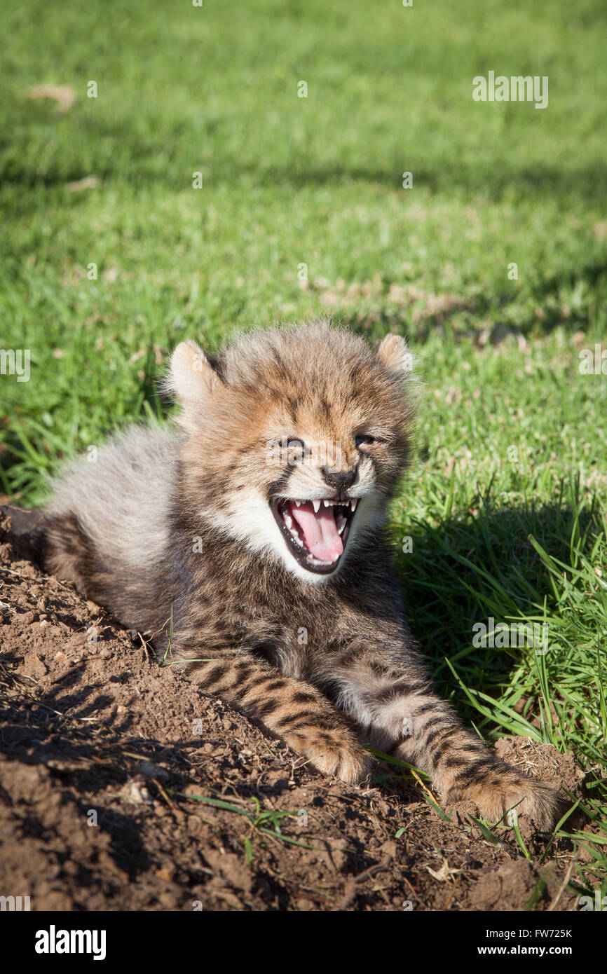 A baby cheetah resting on a reserve, letting out a big yawn - Stock Image