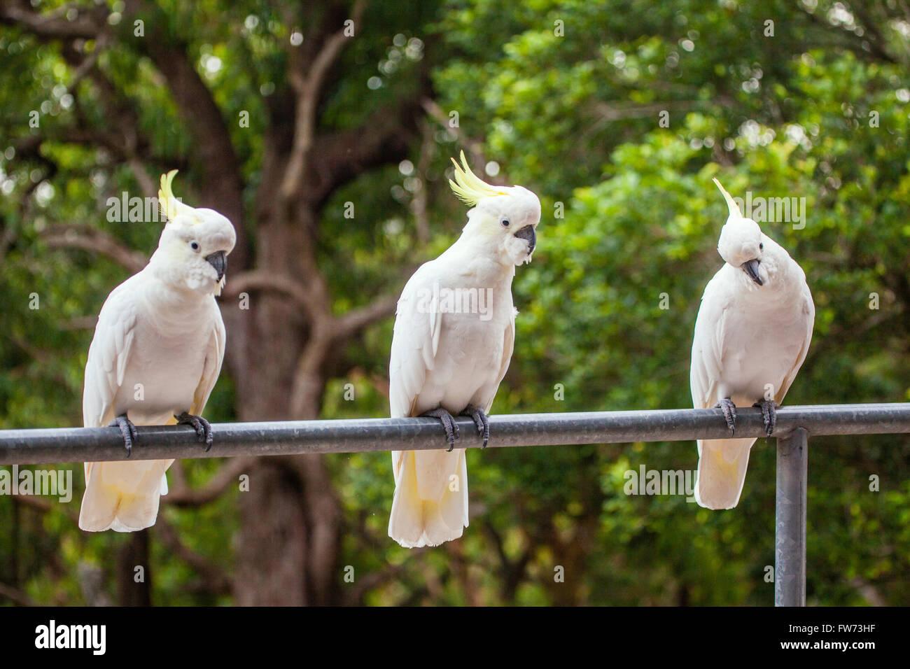 Three in a row, Sulphur-crested cockatoos, Cacatua galerita - Stock Image