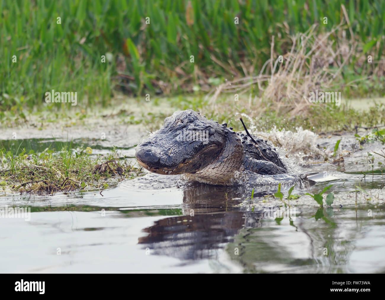 Wild Florida Alligator Jumps out of  Water - Stock Image