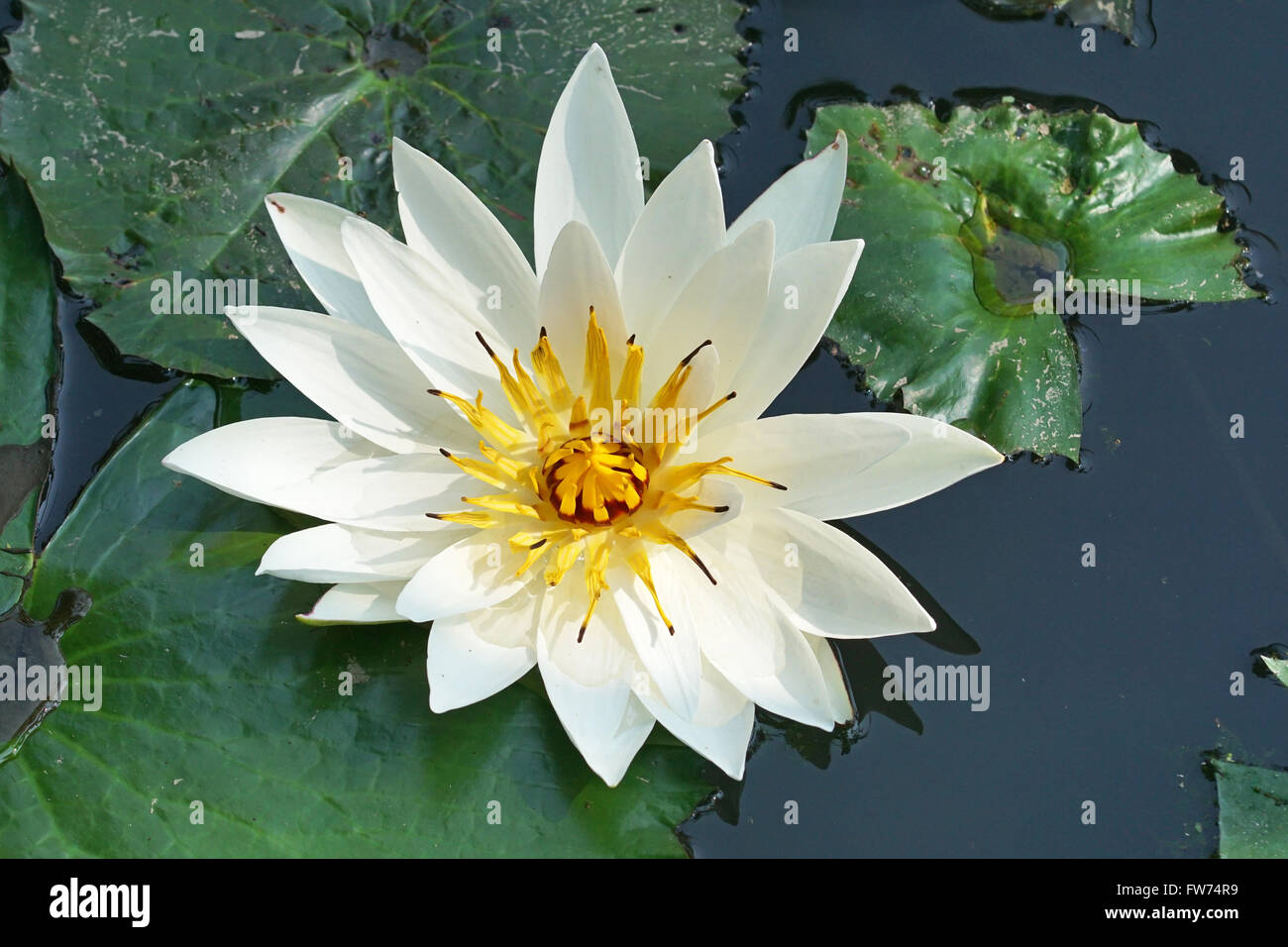 White Water Lily Flowers Of Bali Indonesia Stock Photo 101575693
