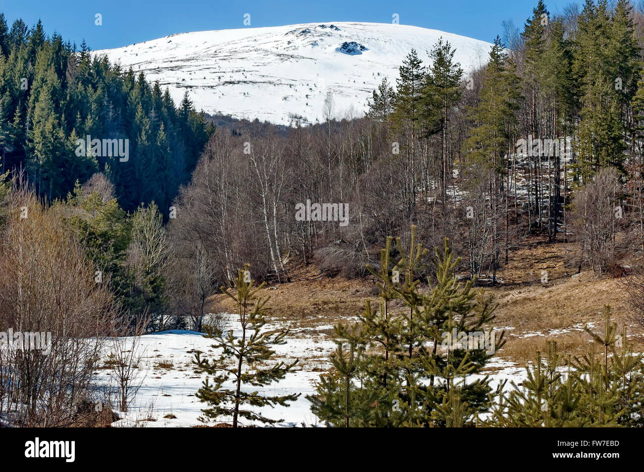Conifer and birch forest with snow in winter - Stock Image