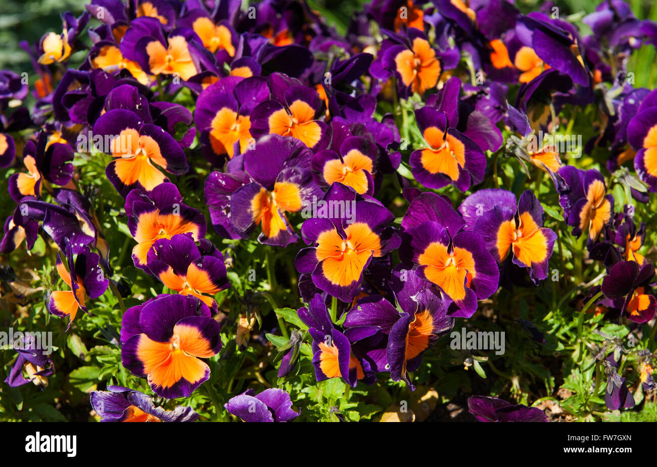 Yellow viola flowers in garden stock photos yellow viola flowers pink and orange flowers in the garden latin name viola tricolor stock image mightylinksfo