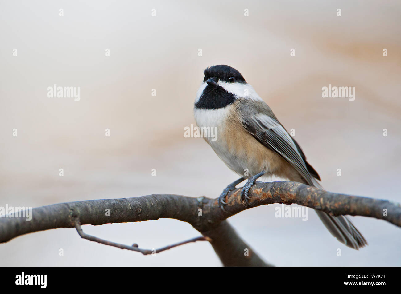 Carolina Chickadee (Poecile carolinensis) sitting on tree branch, Amherst Island, Canada - Stock Image