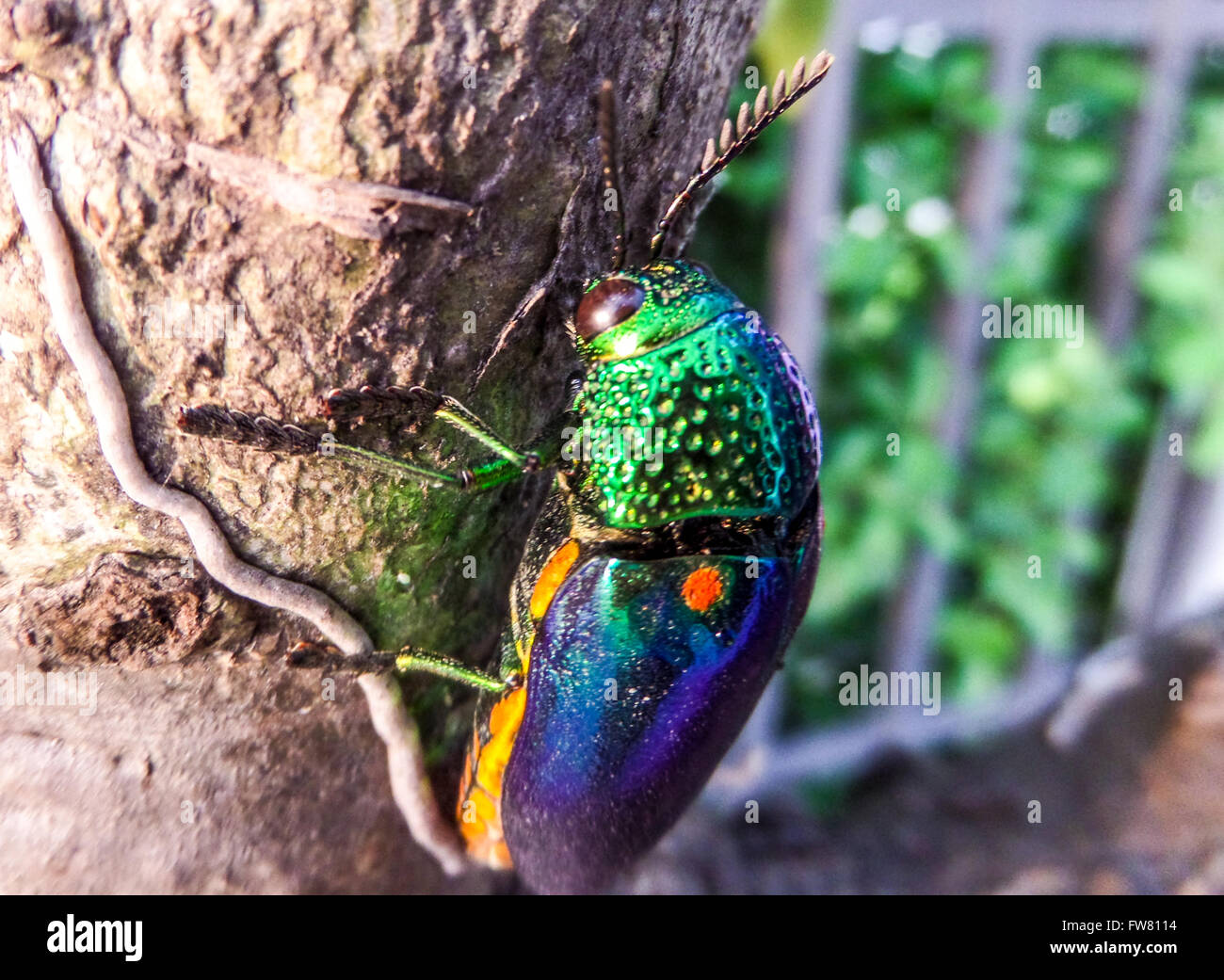 Buprestidae is a family of beetles known as jewel beetles or metallic wood-boring beetles because of their glossy - Stock Image