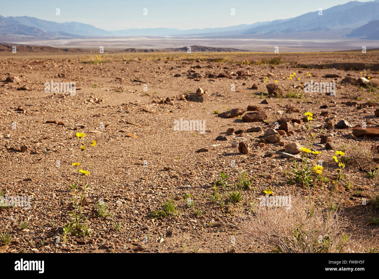 Blooming spring flowers distant panoramic view death valley stock blooming spring flowers distant panoramic view death valley california usa mightylinksfo