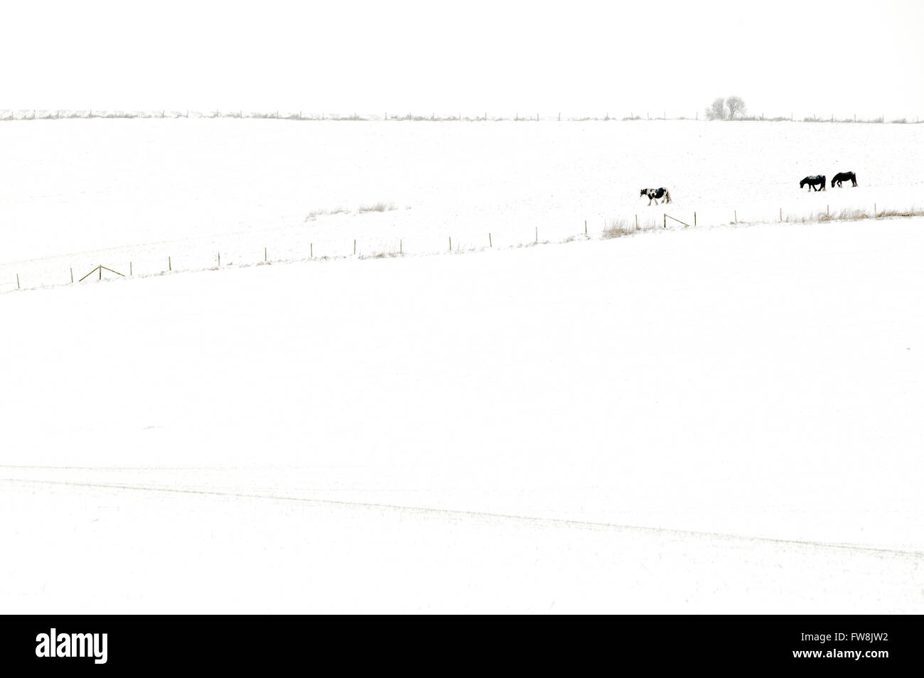 Snow covered fields and hills in the british countryside with horses silhouetted against the snow in the distance.. - Stock Image