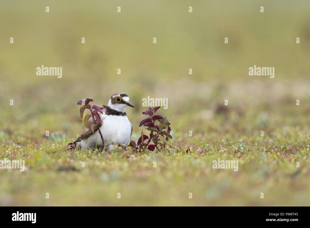 Little Ringed Plover ( Charadrius dubius ), adult wader bird in typical habitat, warming up a hatchling under its - Stock Image