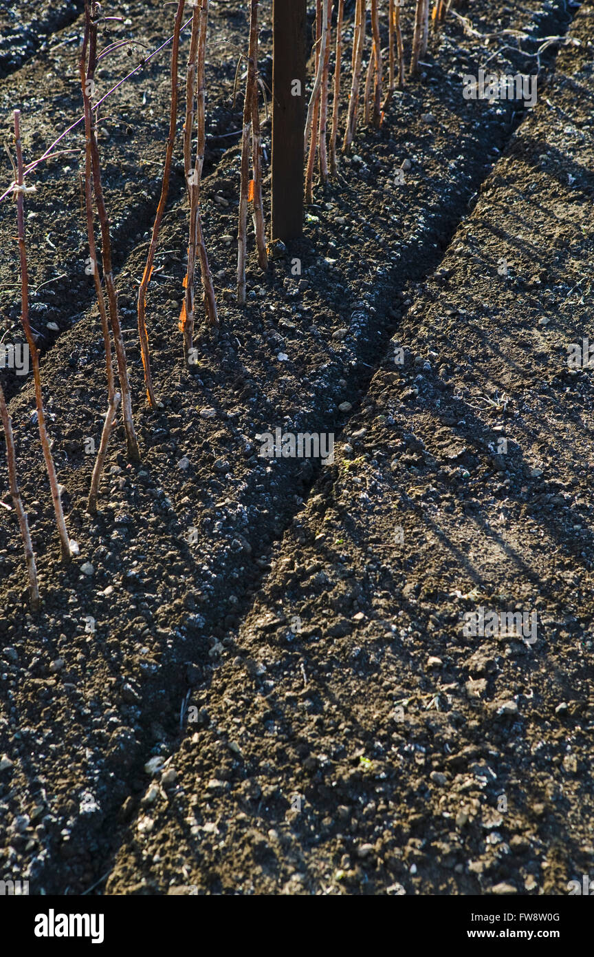 Lines of perfectly prepared soil and straight rasberry canes wait for warmer weather in the spring and summer on - Stock Image