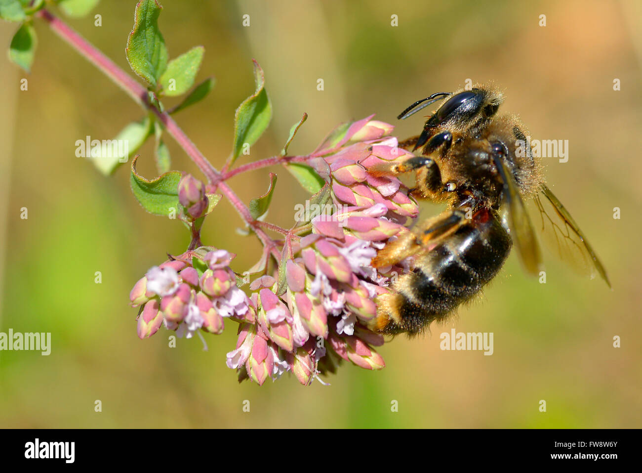 Macro of honey bee (Apis) feeding on pink flower seen from profile - Stock Image