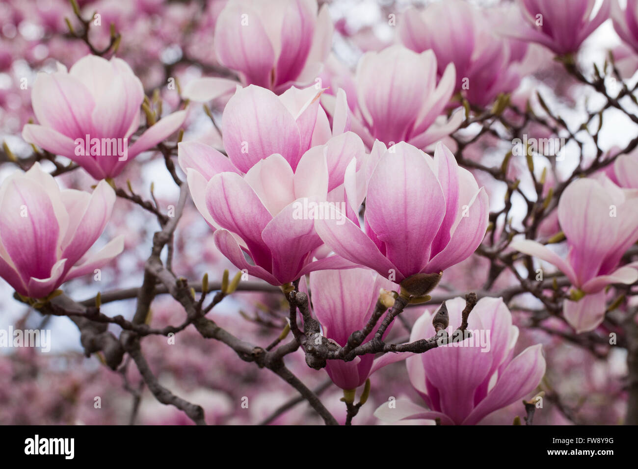 Saucer Magnolia Bloom(Magnolia x Soulangeana) Magnoliaceae - USA - Stock Image