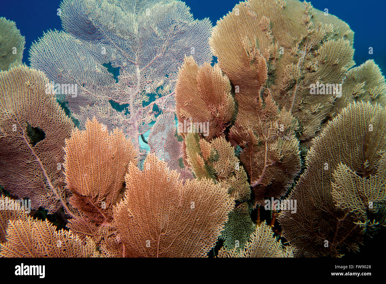 Sea fans in the tropical waters outside the Caribbean island of Bonaire - Stock Image