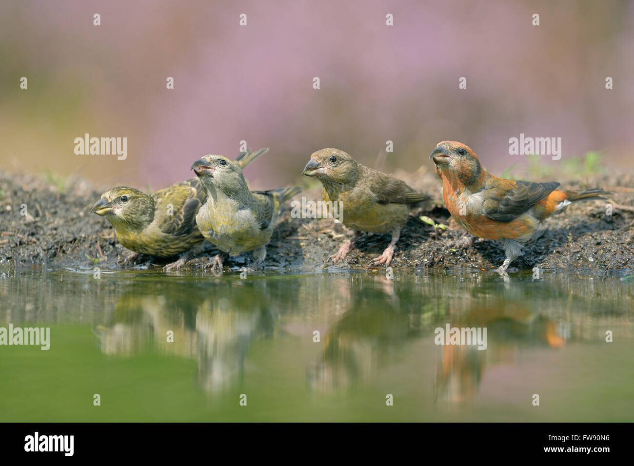 A whole family of Common Crossbills (Loxia curvirostra) / Fichtenkreuzschnaebel drinking at a pond in midst of blooming - Stock Image