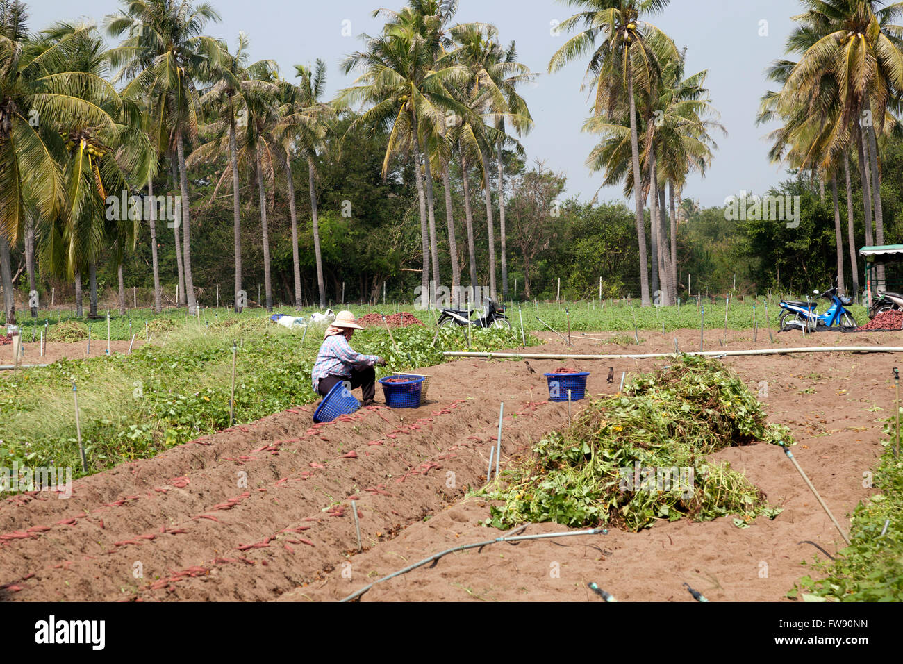 The harvesting of sweet potatoes (Ipomea batatas), in the Prachuap Khiri Khan province (Thailand). La récolte - Stock Image