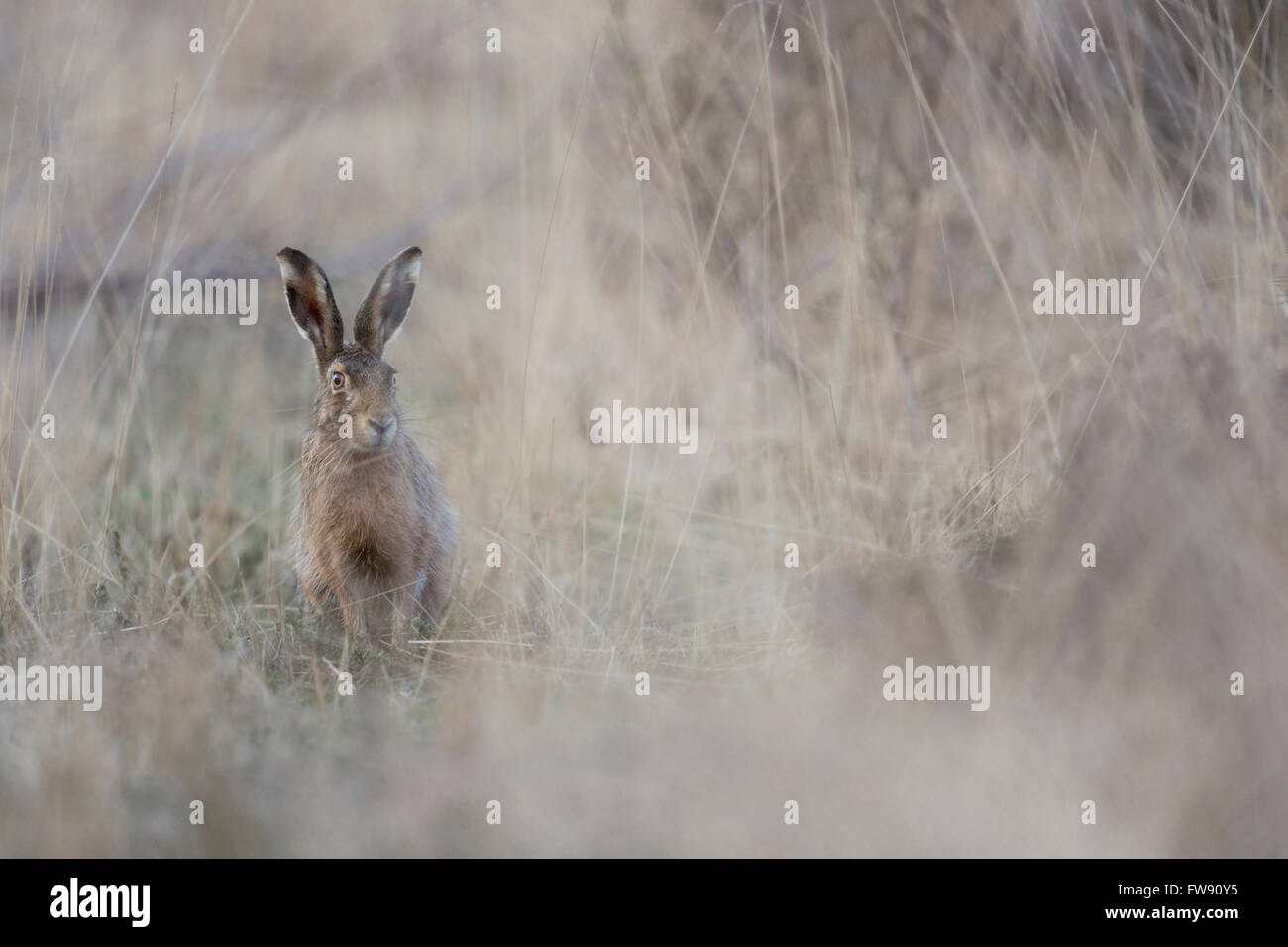Brown Hare / European Hare / Feldhase (Lepus europaeus) sits hidden in natural high grass environment. - Stock Image