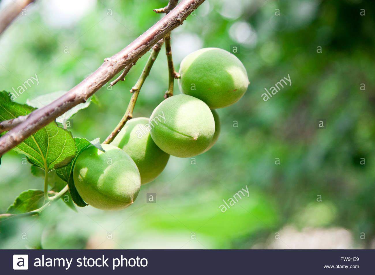 Japanese apricot - Stock Image