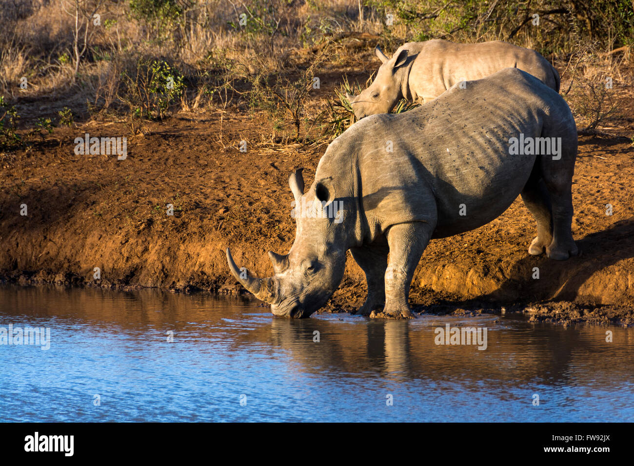 White rhinoceros female with its calf at watering hole in Phinda private game reserve, KwaZulu Natal, South Africa Stock Photo