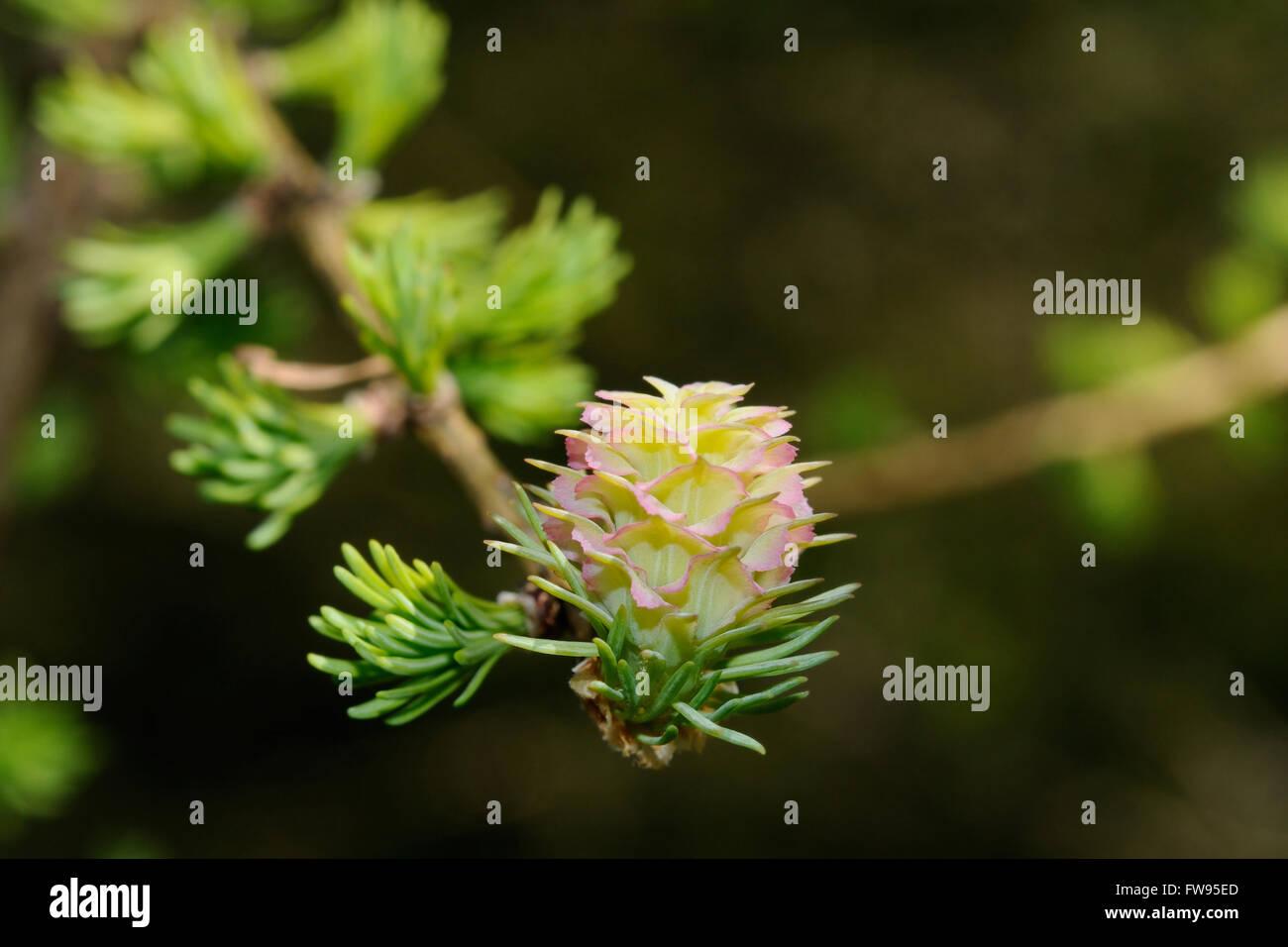 A close up shot of a larch tree blossom, Puumala, Finland - Stock Image