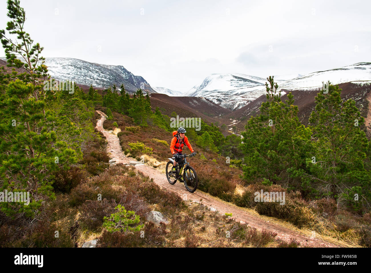 Mountain biker in Rothiemurchus Forest Cairngorms National Park Highland Scotland: the gap of the Lairig Ghru and - Stock Image