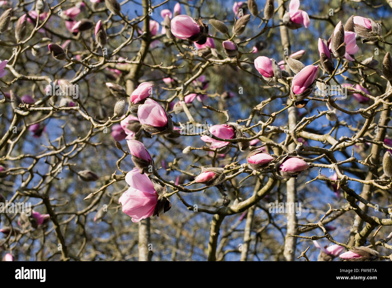Magnolia 'Caerhays Belle' flowers. Stock Photo