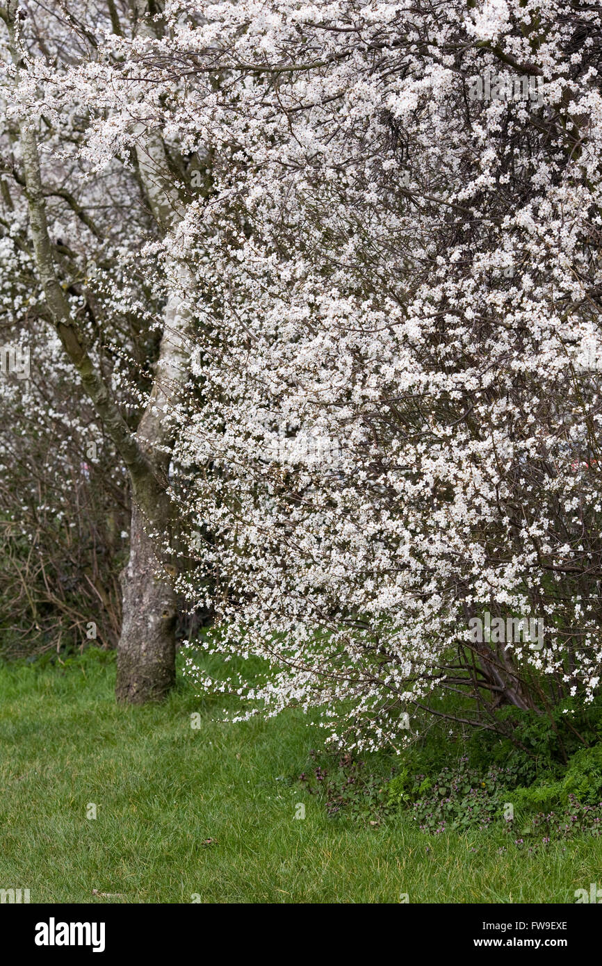 Prunus spinosa. Blackthorn flowers in Spring. - Stock Image