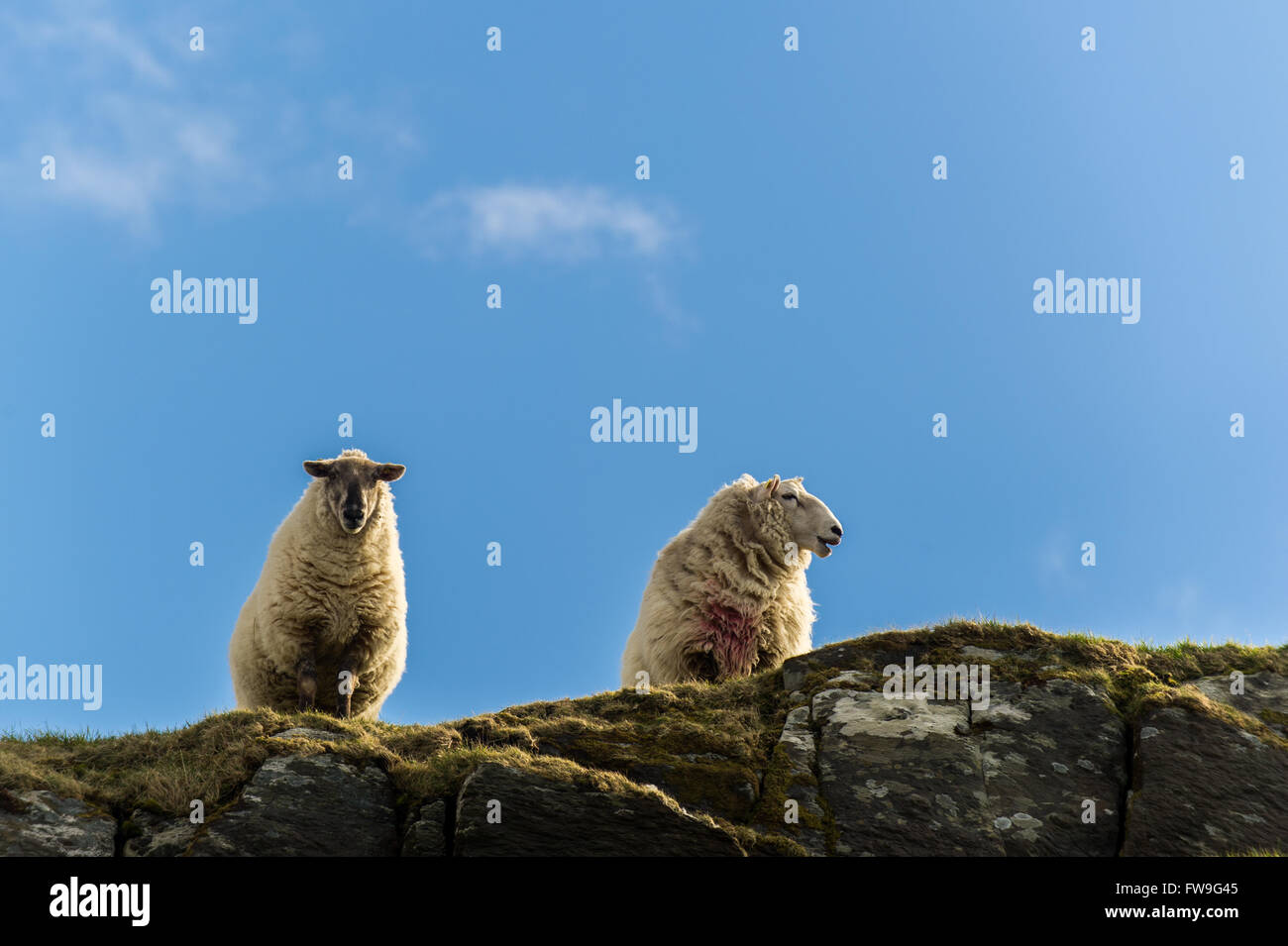 Two sheep on a rock in the Sheep's Head, West Cork, Ireland - Stock Image