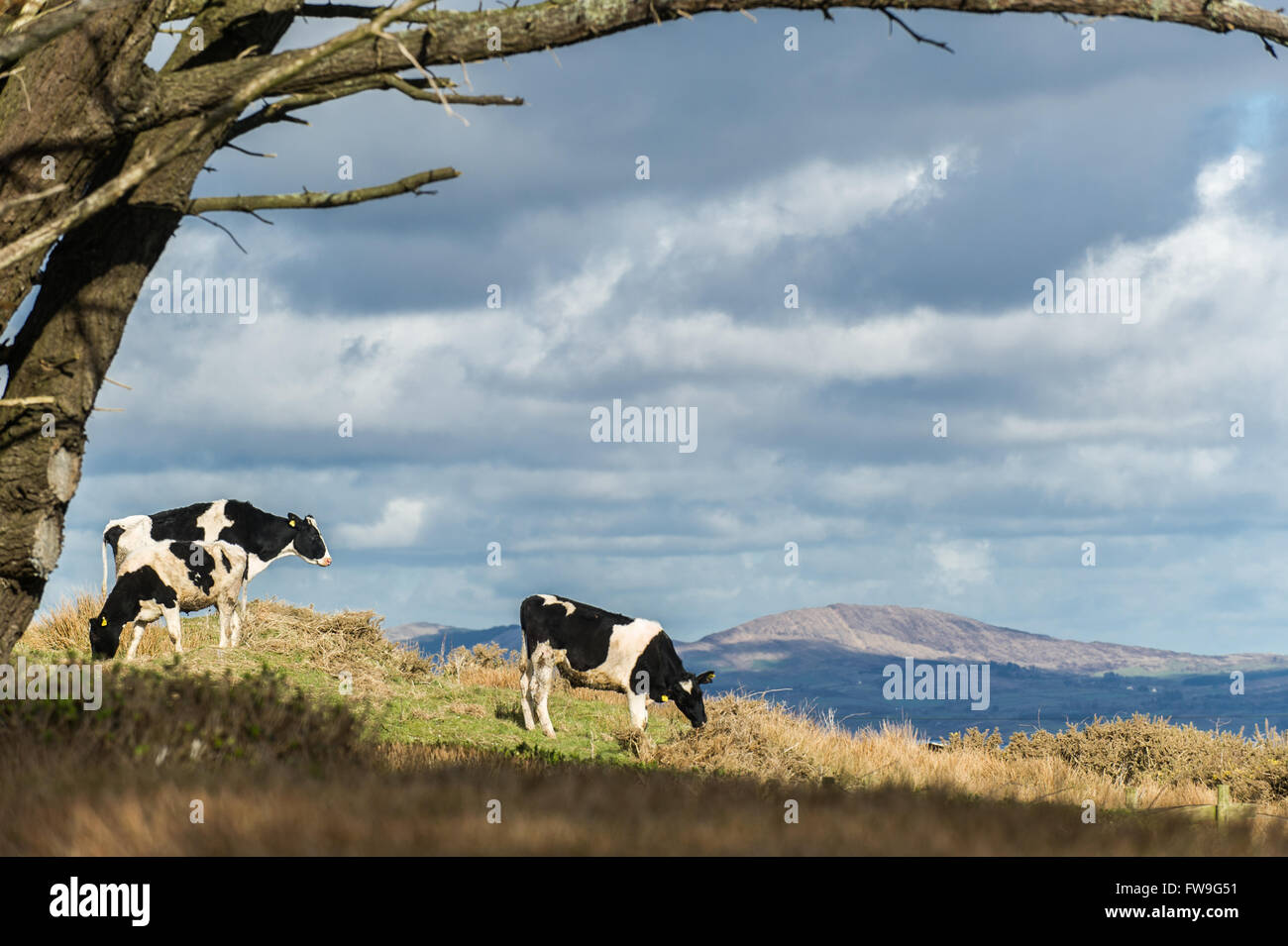 Three cows stand in a field, framed by a tree on the Sheep's Head Way, West Cork, Ireland - Stock Image