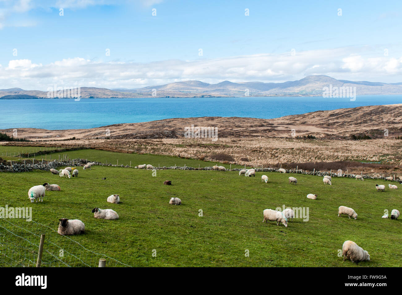Flock of sheep in a field on the Sheep's Head Way, West Cork, Ireland. - Stock Image