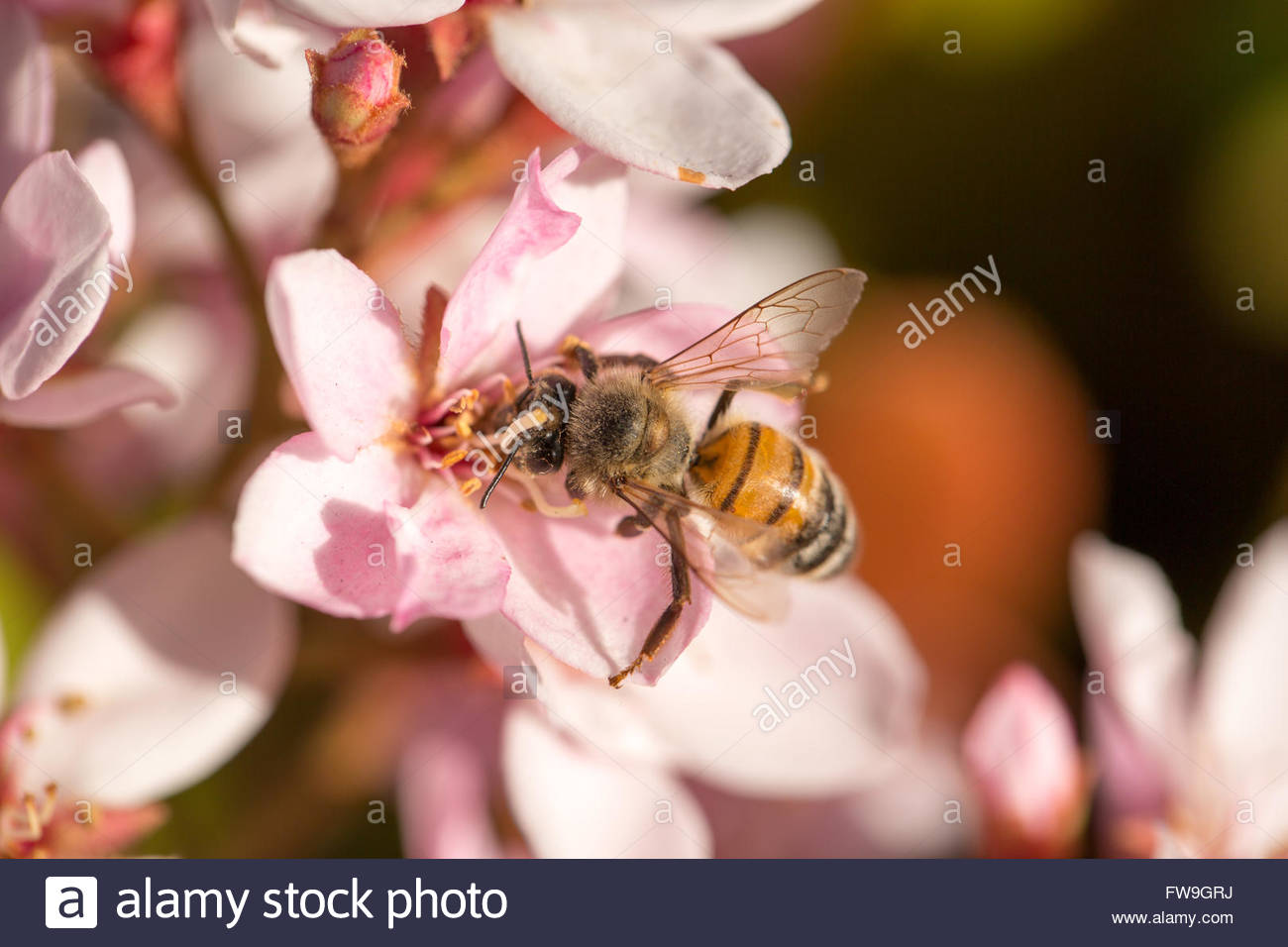 Bee (Anthophila) on white and pink flowers - Stock Image