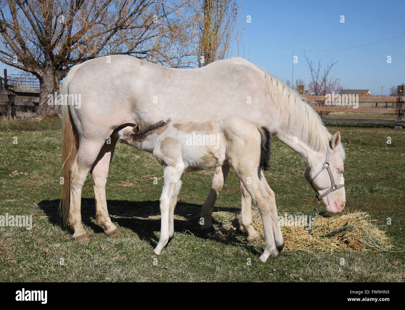White And Tan Baby Horse Feeding From Mother Full Length Stock Photo Alamy