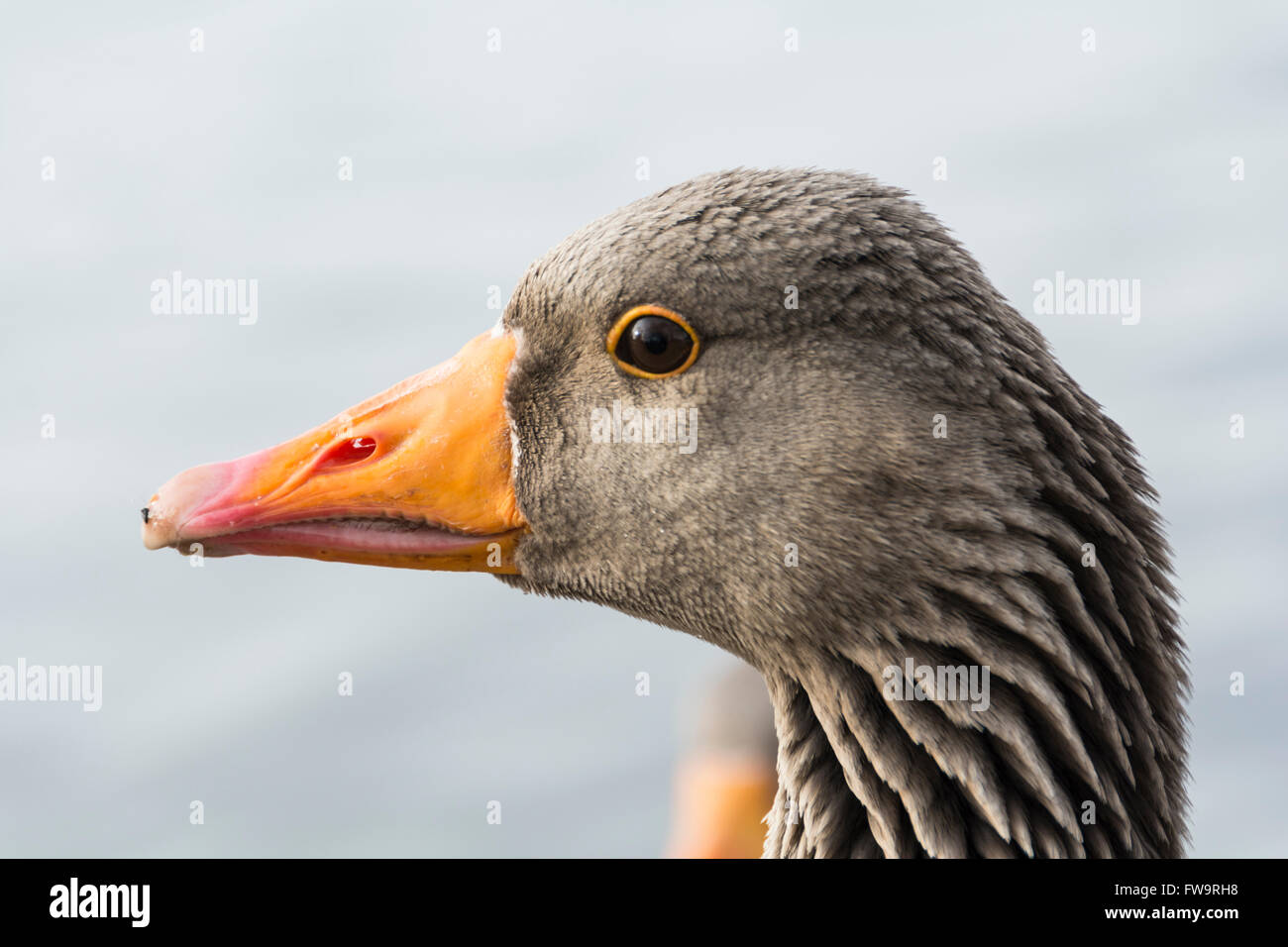 The Greylag goose, or Anser anser,  is a bird in the waterfowl family Anatidae - Stock Image