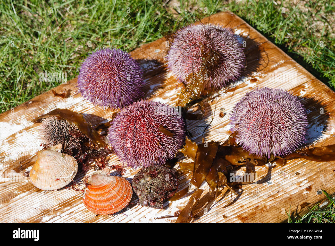 Sea hedgehogs and scallops whch have been just caught in the sea - Stock Image