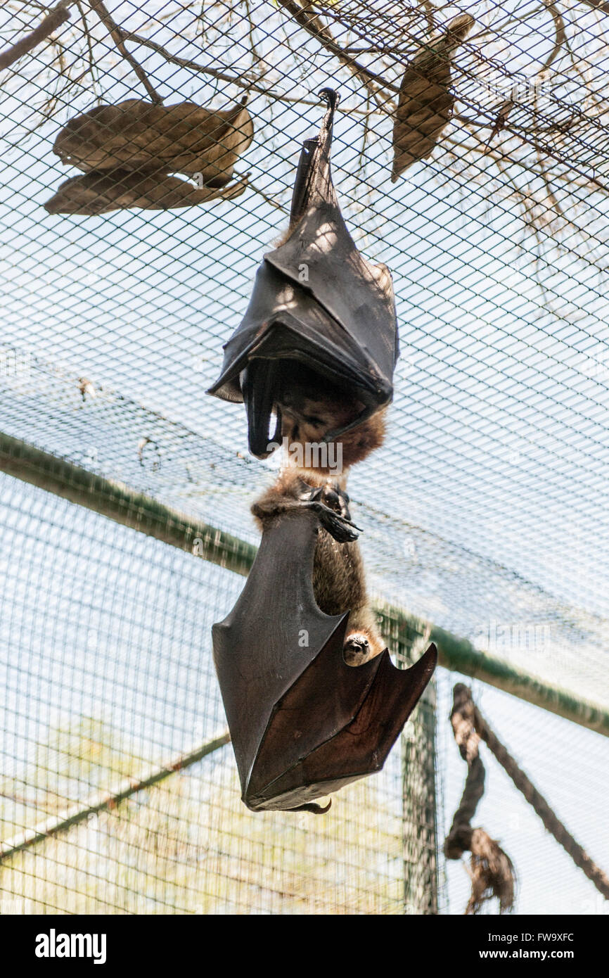 Bat roosting on the islet of Ile Aux Aigrettes in Mauritius. - Stock Image