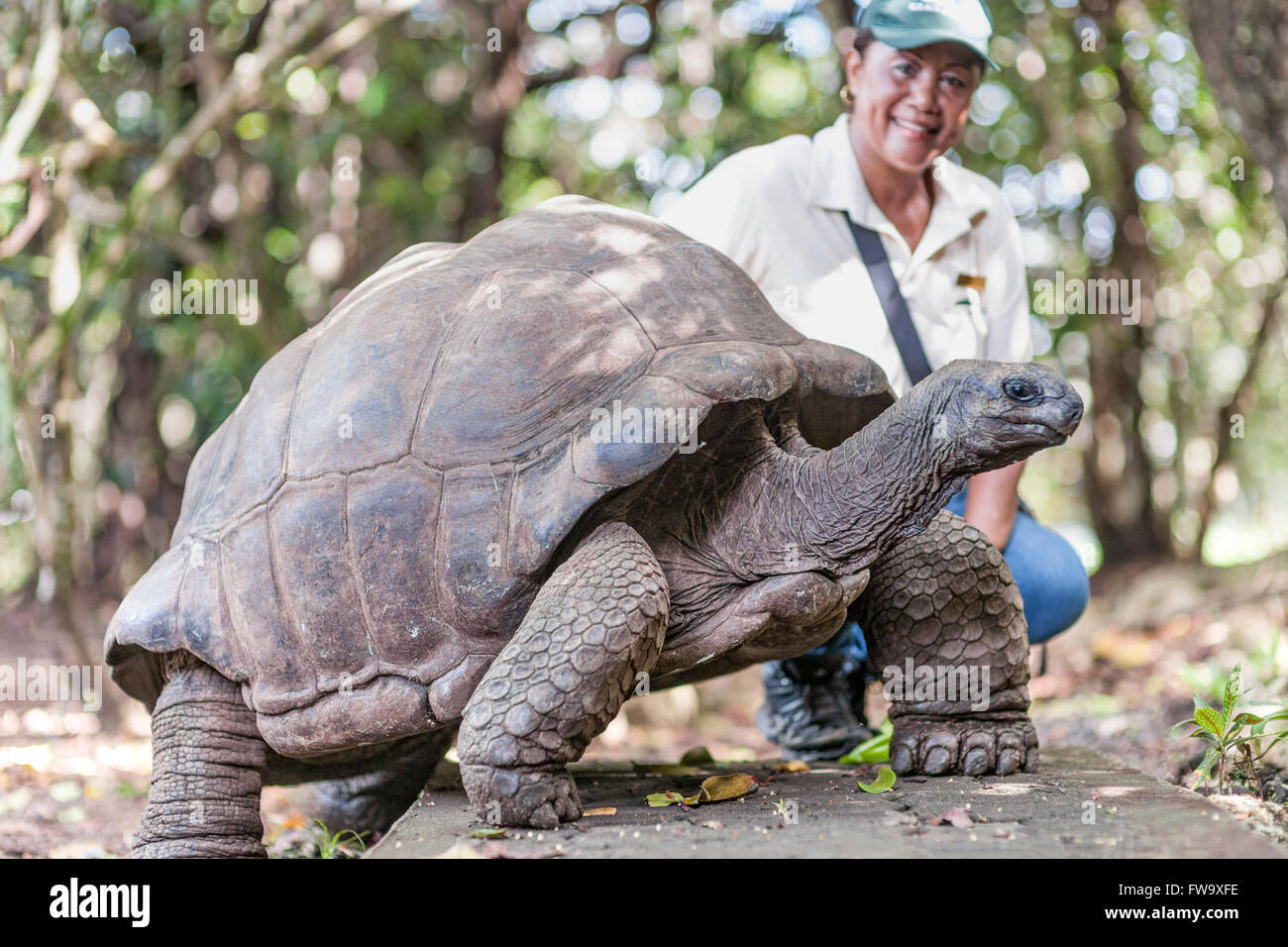 A wildlife guide with Big Daddy, a 90 year old giant tortoise on Ile Aux Aigrettes in Mauritius. - Stock Image