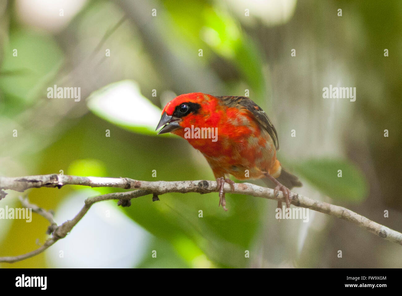 Madagascar Red Fody on the islet of Ile Aux Aigrettes in Mauritius. - Stock Image