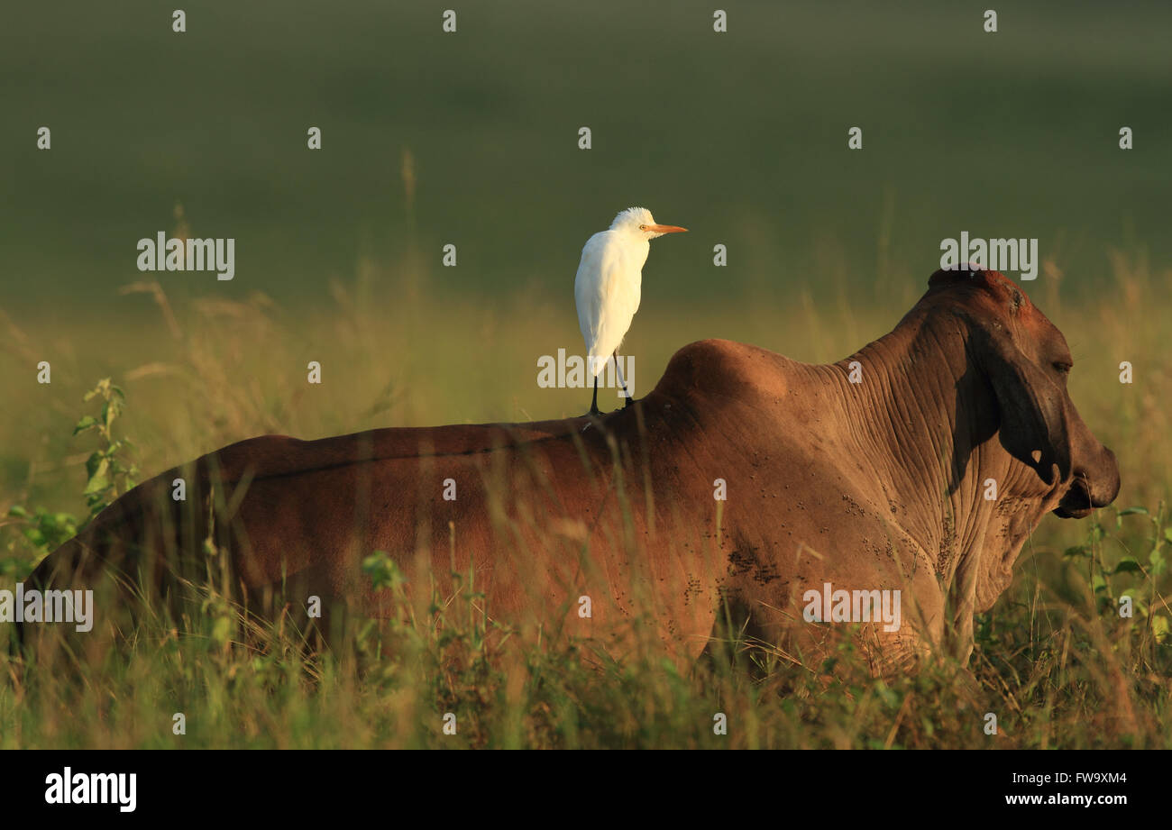 A Cattle Egret - Ardea ibis - standing on a heifer's back in a rural outback Australian paddock. Photo Chris - Stock Image