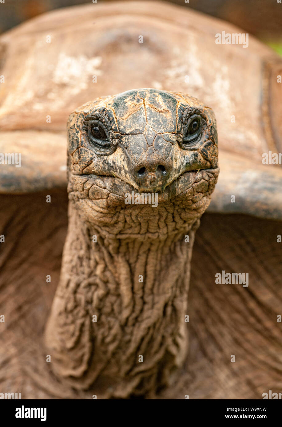 Giant tortoise at the Four Seasons Hotel in Mauritius. - Stock Image