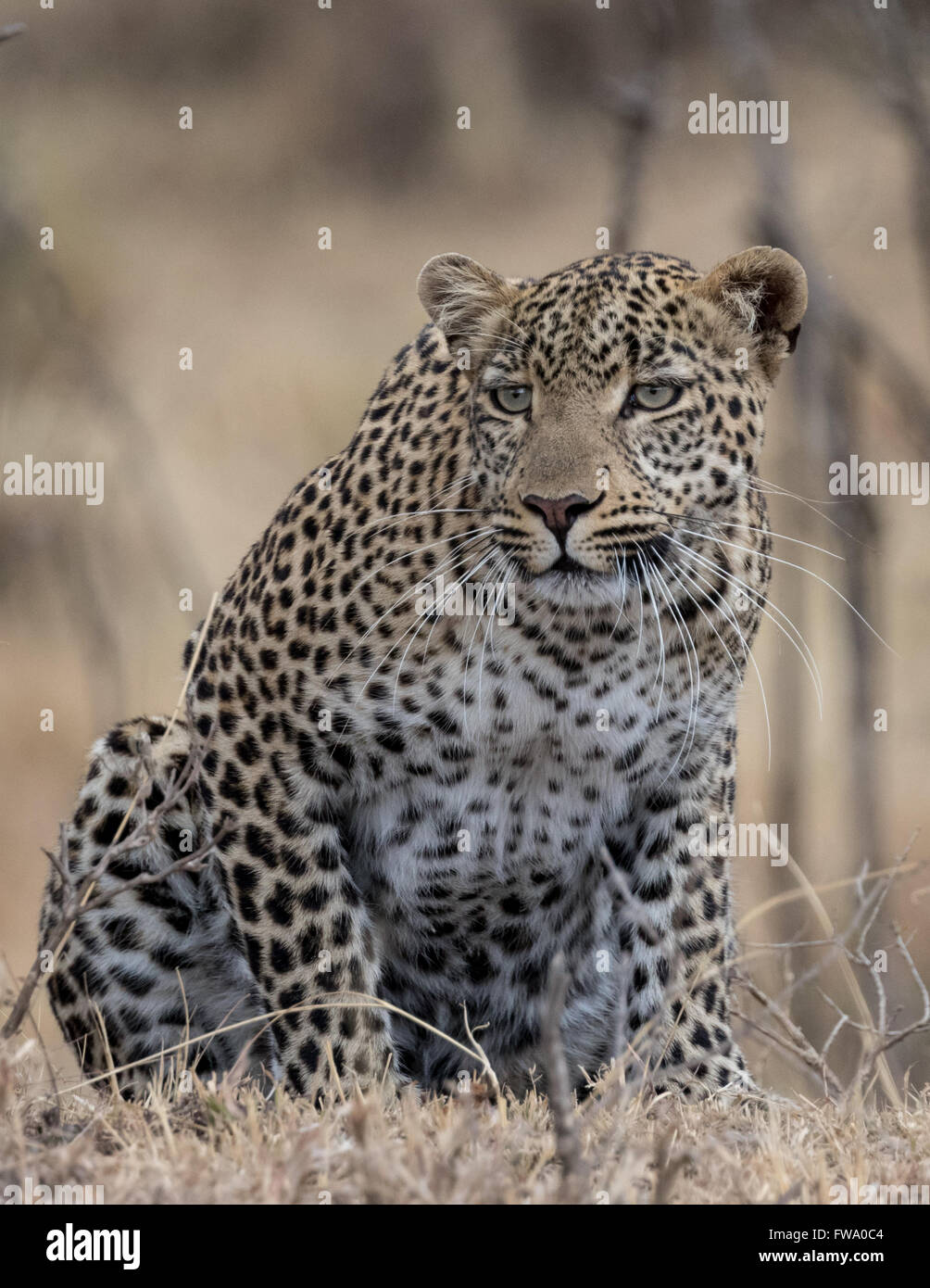 Leopard (Panthera Pardus) crouched ready to pounce taken in Masai Mara Kenya. - Stock Image
