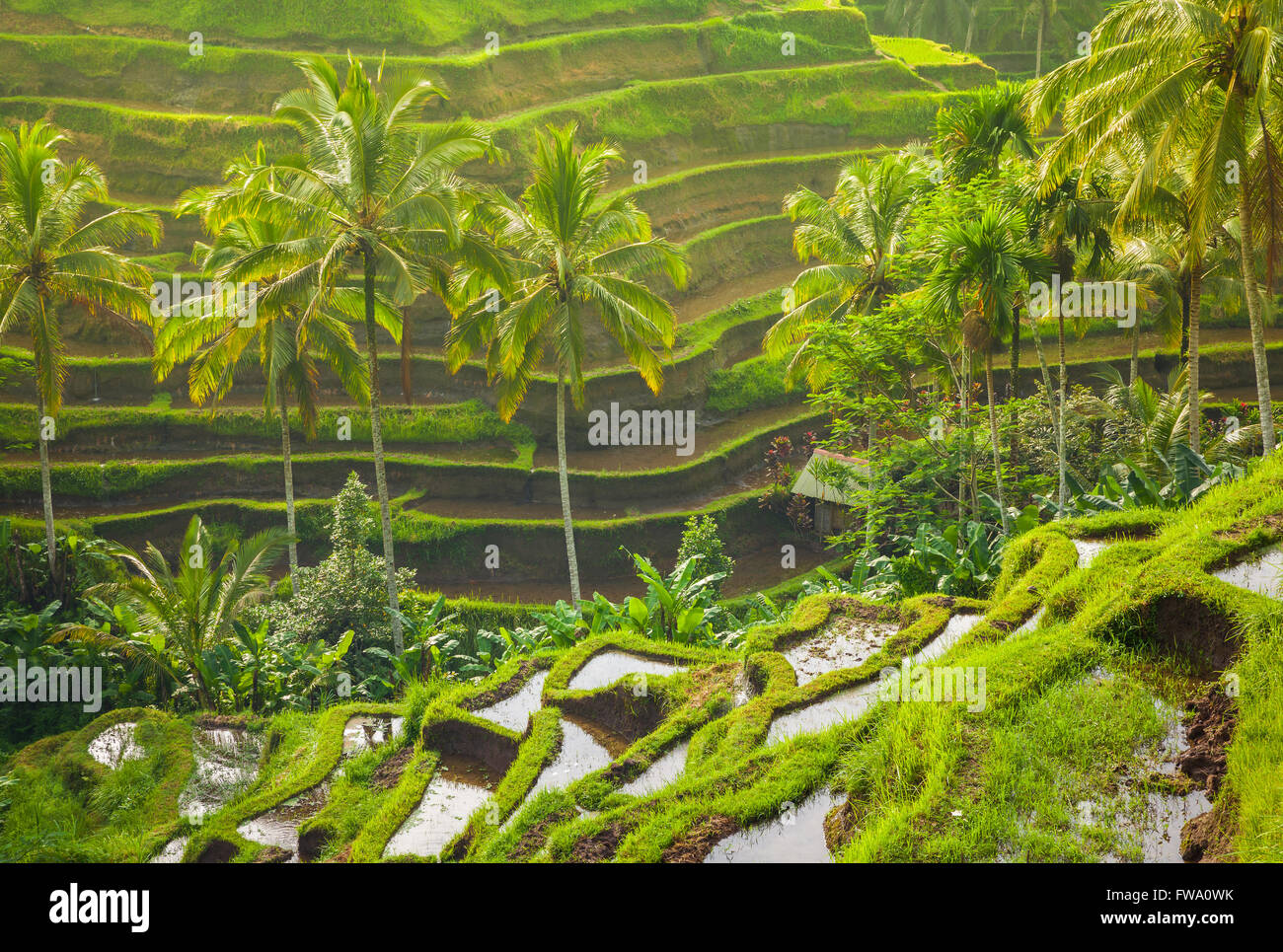 Beautiful rice terraces in the moring light near Tegallalang village, Ubud, Bali, Indonesia. - Stock Image