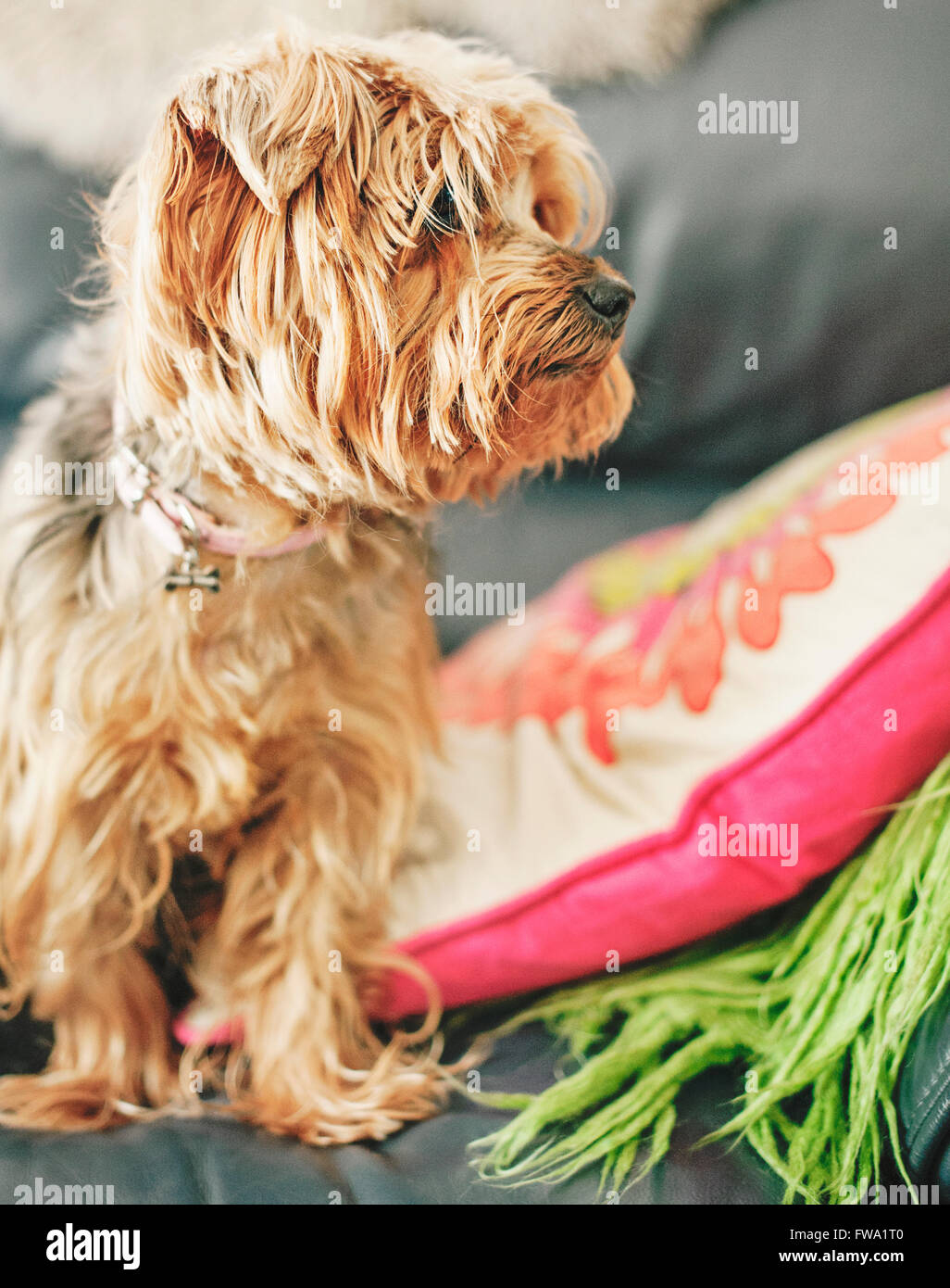 dog terrier siting on bed - Stock Image