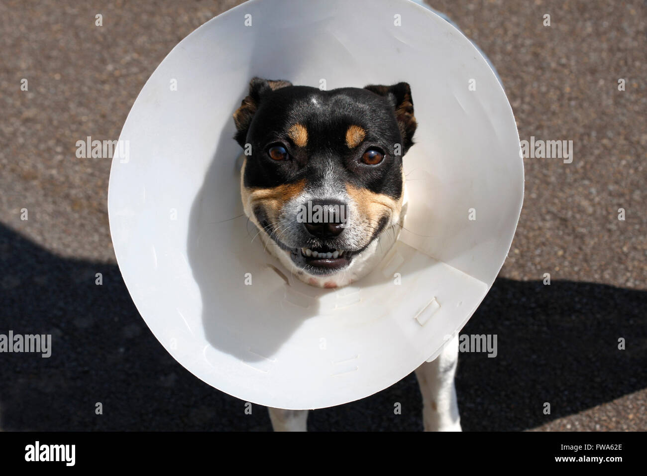Small smiling dog wearing a cone after surgery - Stock Image