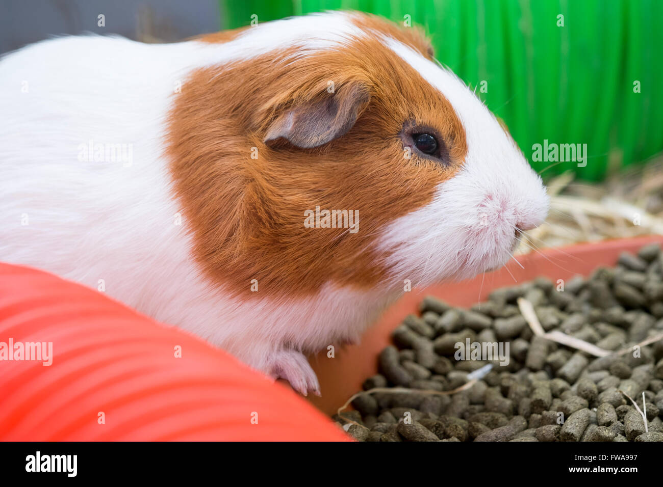 Guinea Pig in a cage, UK. - Stock Image