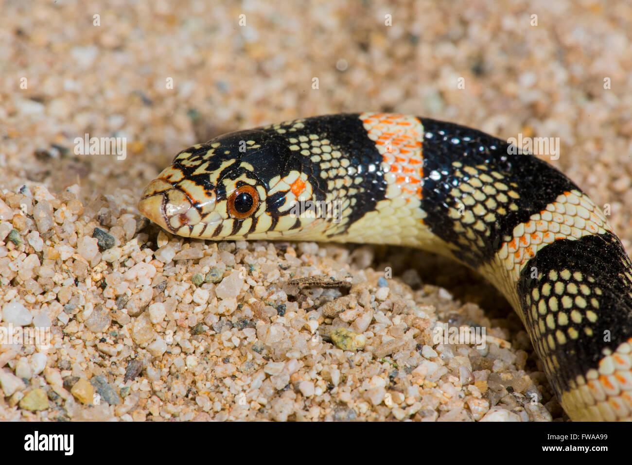 Long-nosed Snake  Rhinocheilus lecontei Tucson, Pima County, Arizona, United States 12 August       Adult       - Stock Image