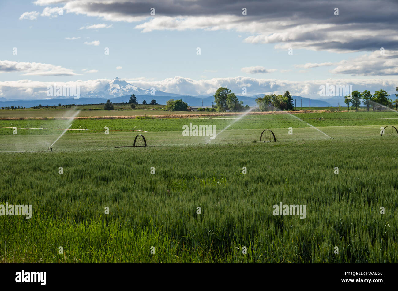 Wheat field being irrigated on a farm in eastern Oregon - Stock Image